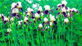 Irisiriers bland andra växter Arkivfoton