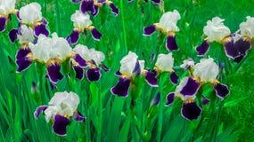 Irisiriers bland andra växter Arkivbilder