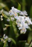 Irisjaponica royalty-vrije stock afbeeldingen