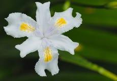Irisjaponicablomma Bästa sikt för makro Royaltyfria Bilder