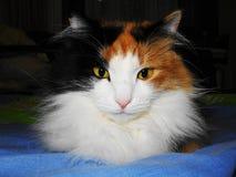 猫Iriska 库存照片