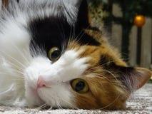 猫Iriska 库存图片