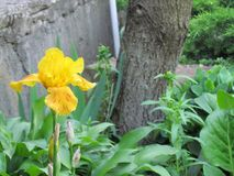 Irisl amarillo Fotos de archivo