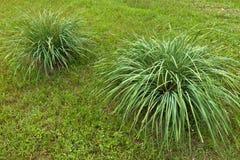 Irislactea i en parkera Royaltyfria Bilder