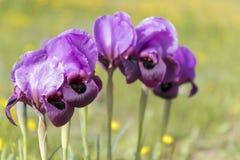Irismariae Royalty-vrije Stock Afbeeldingen