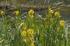 Irispseudacorus dichtbij een vijver stock afbeeldingen