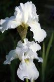 Irissen Royalty-vrije Stock Afbeeldingen