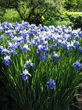 Irissen stock fotografie