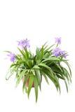 Irissen Royalty-vrije Stock Afbeelding