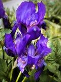 Irissen in de tuin Stock Afbeeldingen