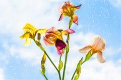Irissen dichtbij het venster na een de lenteregen Royalty-vrije Stock Afbeeldingen