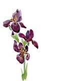 Irissen die door waterverf trekken Royalty-vrije Stock Afbeeldingen
