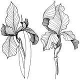 Irissen in een vector geïsoleerde stijl Stock Foto