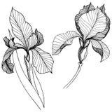Irissen in een vector geïsoleerde stijl Royalty-vrije Stock Afbeelding