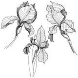 Irissen in een vector geïsoleerde stijl Stock Fotografie