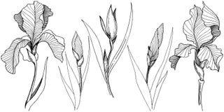Irissen in een vector geïsoleerde stijl Stock Afbeelding