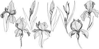 Irissen in een vector geïsoleerde stijl Royalty-vrije Stock Fotografie