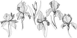 Irissen in een vector geïsoleerde stijl Stock Foto's