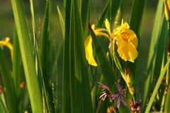 Irissen onder het groen in de dauw Royalty-vrije Stock Afbeeldingen