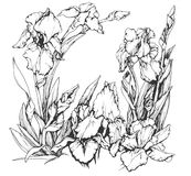 Irissenbloemen Stock Afbeeldingen