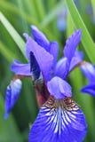 Irissibiricablomma arkivfoton