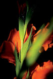Irisskugga Royaltyfri Fotografi