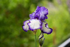 Iristrädgård med en fluga Arkivfoton
