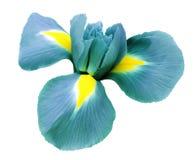 Iristurkosblomma Vit isolerad bakgrund med den snabba banan Closeup inga skuggor Arkivbild