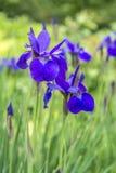 Irisversicolo of purpere iris Royalty-vrije Stock Afbeeldingen