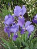 Irisvioleten slår ut och blommar Arkivbild