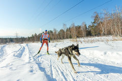 Irkutsk, Russia - January 28, 2017: Racing competition for dog s. Ledding and skijoring Angara beads 2017 Royalty Free Stock Images