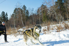 Irkutsk, Russia - January 28, 2017: Racing competition for dog s. Ledding and skijoring Angara beads 2017 Royalty Free Stock Photo