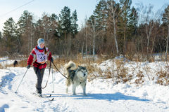 Irkutsk, Russia - January 28, 2017: Racing competition for dog s Stock Image