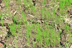 Irländarefält eller risfält Arkivfoto