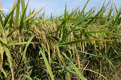 Irländarefält med mogen risfält under den blåa himlen Arkivfoto