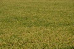 Irländarefält som är klart för skörd Royaltyfria Foton