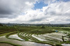 Irländarefält som växer halv-vatten- ris arkivfoto