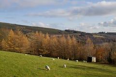 Irländsk fårlantgård Fotografering för Bildbyråer
