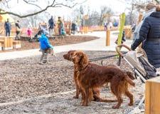 Irländsk setter för röd hundkapplöpning som går på en koppel i parkera royaltyfri fotografi