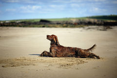 Irländsk Setter på stranden Royaltyfria Foton
