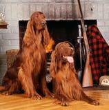 Irländsk setter (vila, når du har jagat), Royaltyfri Fotografi