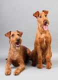 irländsk terrier Royaltyfri Bild