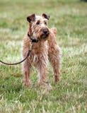irländsk terrier Royaltyfri Fotografi