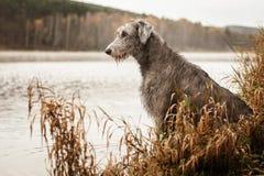 Irländsk varghund på flodbanken arkivfoton
