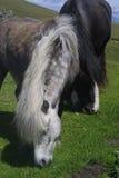 irländska hästar royaltyfria bilder