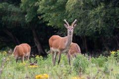 Irländska röda hjortar Arkivfoto