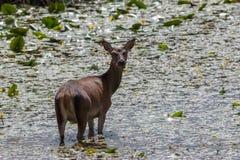 Irländska röda hjortar som matar i träsk Royaltyfri Fotografi