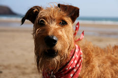 Irländska Terrier på stranden Royaltyfri Bild