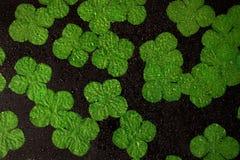 Irländska treklöverer med vattenlilla droppen Arkivbild