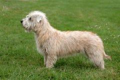 Irlandês típico Glen Terrier em um gramado da grama verde Fotos de Stock